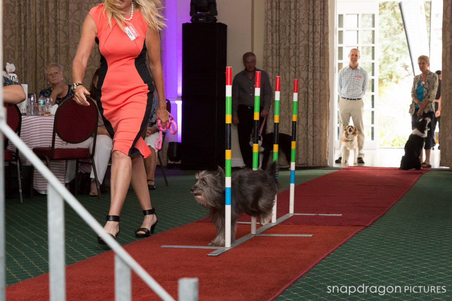 Agility, Animal Talk, Awards Photographer, Awards Photography, Bravecto, Breed Show, Event Photographer, Event Photography, Function Photographer, Function Photography, Johannesburg Event Photographers, Johannesburg Event Photography, Leanne Russell Williams, Panorama Media Corp, Sean and Leanne Williams, Snapdragon Pictures, Top Dog, Top Dog 100 Ratings, Top Dog Agility, Top Dog Awards